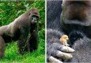 Bobo, goryl nizinny uratowany przez organizację w roku jej założenia, poznał nowego przyjaciela