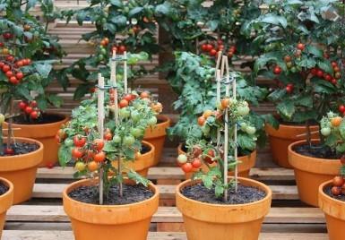 Tajny składnik, który jest przydatny do włożenia w otworze podczas sadzenia sadzonek pomidorów