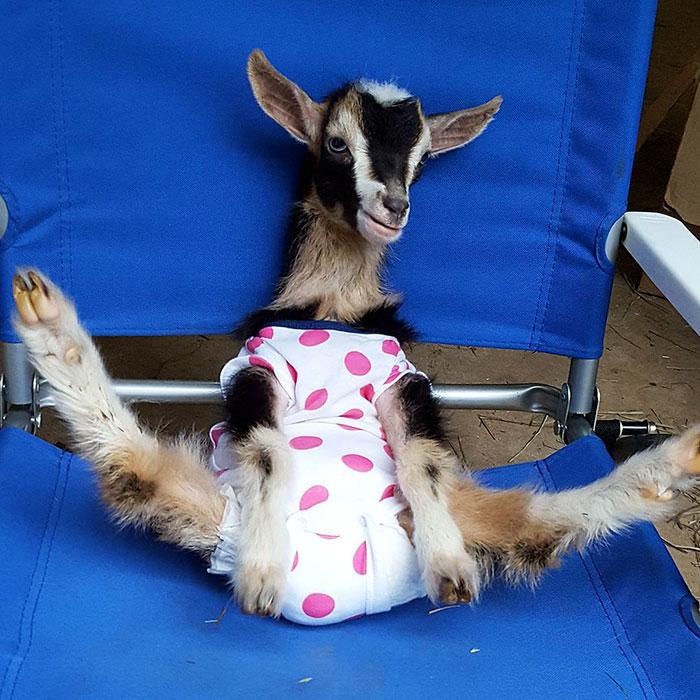 Uratowana koza cierpiąca na ataki paniki uspokaja się dopiero po założeniu garnitura kaczki