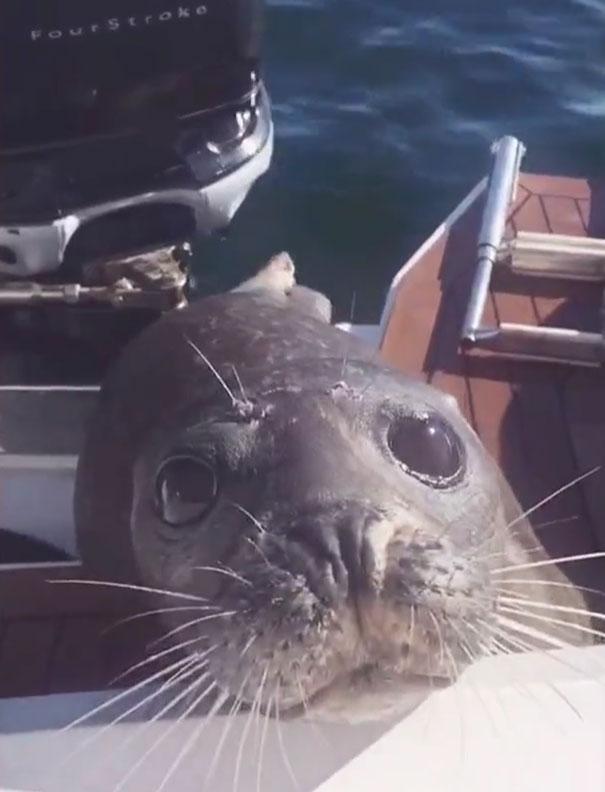Foka, ścigana przez 12 głodnych orek, wskoczyła na łódź