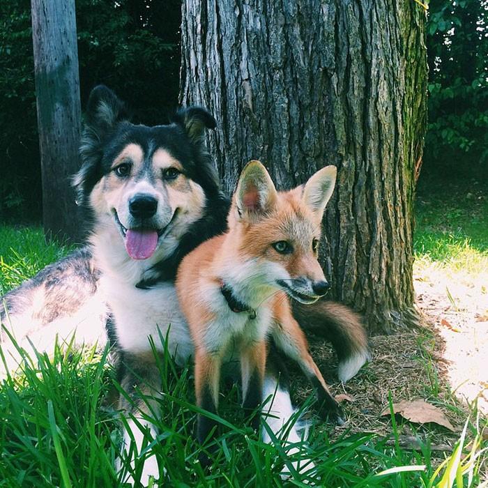 Młody lis i pies zostali najlepszymi przyjaciółmi