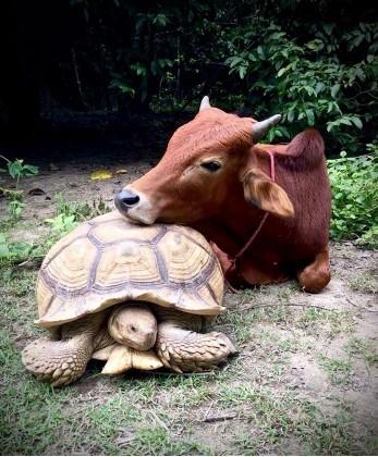 Gigantyczny żółw oraz cielak, co utraciło nogę, zostały się lepszymi kolegami i teraz robią wszystko razem