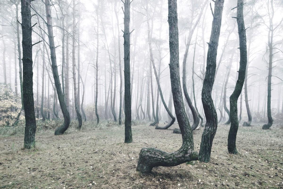 Krzywy las. W Polsce jest tajemniczy gaj, w którym rośnie 400 dziwnie zakrzywionych sosen