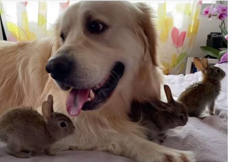 """""""Kudłata niania"""". Retriever stał się """"mamą"""" dla czterech królików"""
