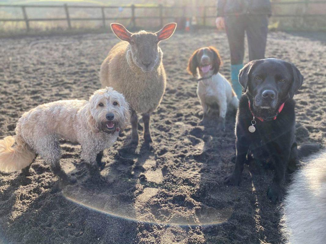 Owca jest przekonana, że jest psem, a każdego, kto zechce temu zaprzeczyć, może ugryźć