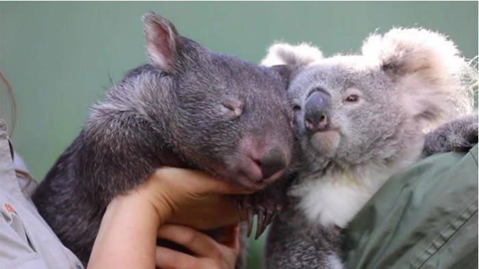 Koala i wombat zaprzyjaźniły się podczas kwarantanny