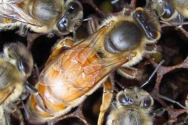 Królowe pszczół potrafią gwizdać i kwakać