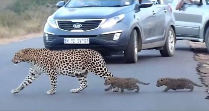 Małe lamparty uczą się przepisów ruchu drogowego od swojej matki