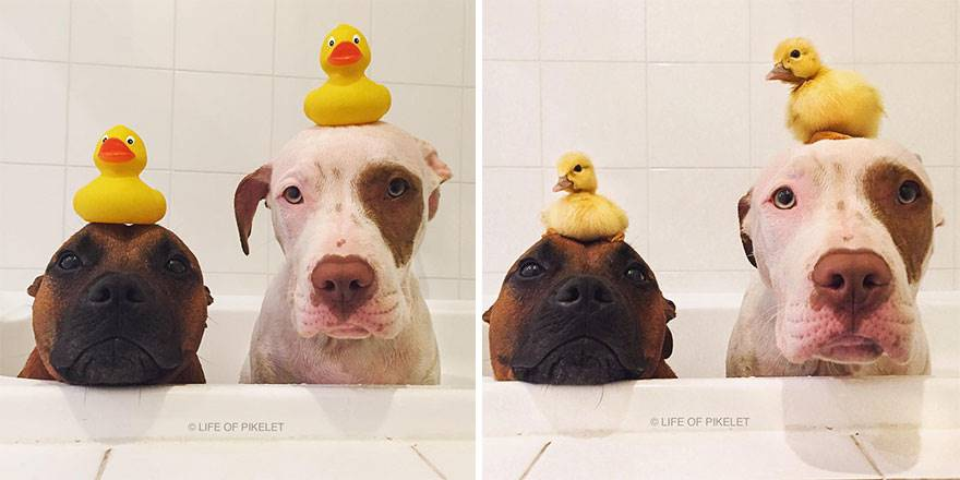 Uratowane psy i kaczki zostały najlepszymi przyjaciółmi