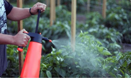 Zakwitła papryka? Jak nawozić glebę w tym ważnym okresie w celu uzyskania obfitych plonów
