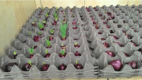 Oryginalny sposób na uprawę szczypiorku w domu