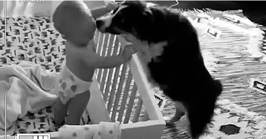 Rodzice nic nie podejrzewali. Pies zakradał się do dziecka w nocy, aby zaopiekować się nim