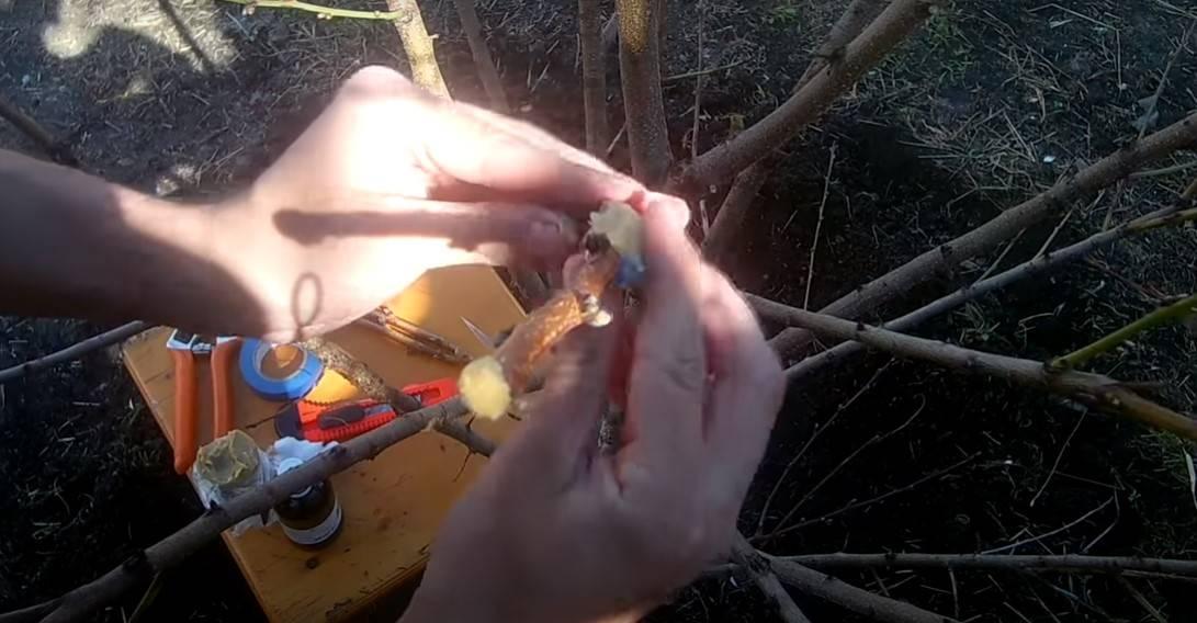 Uczymy się prawidłowo szczepić drzewa, aby uzyskać obfite zbiory. Metoda sprawdzona przez lat