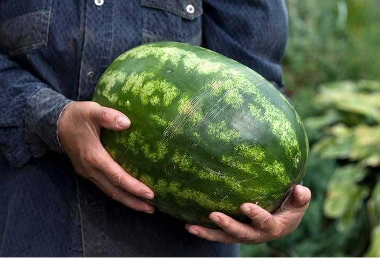 Jak poprawnie wybrać dobrego arbuza